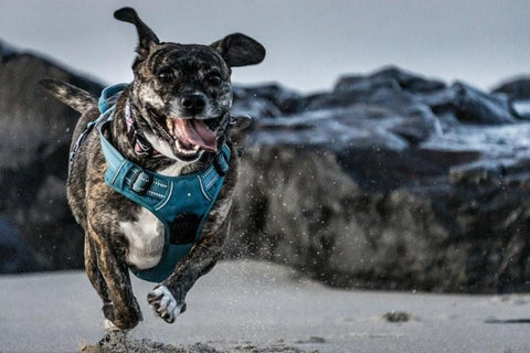 CBD oil can help with mobility for dogs with arthritis