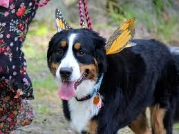 Dog dressed up as a butterfly.