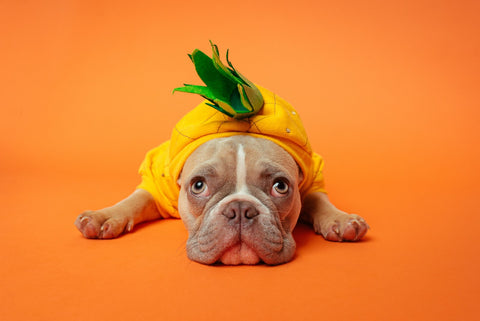Dog dressed up in pineapple costume