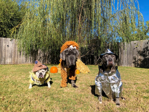 Three dogs dressed as the Lion, Tin man, and Scarecrow from The Wizard of Oz.