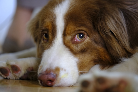 brown Australian shepherd