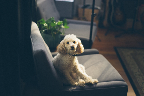 a white curly-haired dog sits attentive in a sofa chair