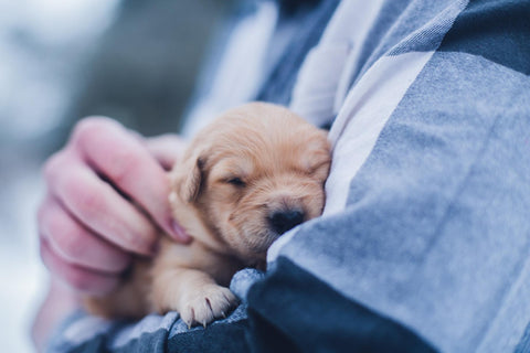 Source Alt text: a golden retriever puppy is held