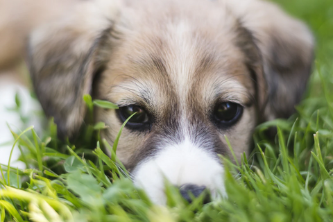 A dog eating grass during abdominal pain or discomfort