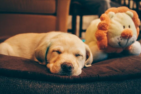 sleeping puppy with toy