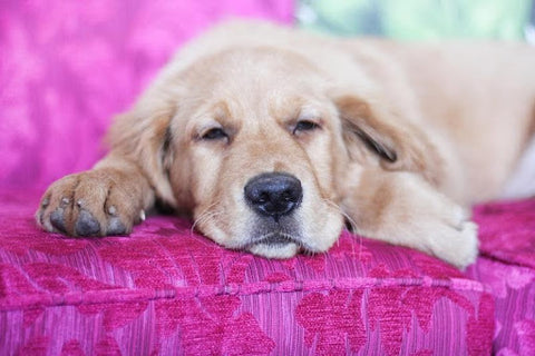 A squinting dog may have an irritant in its eye