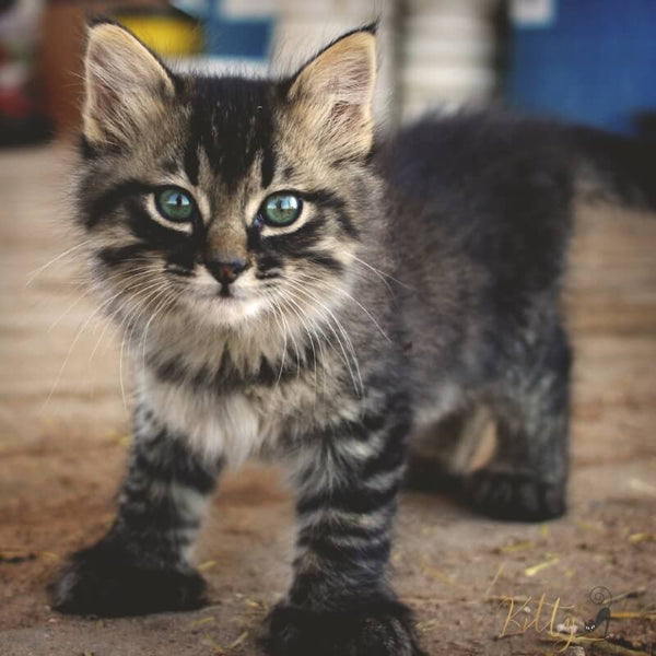cute polydactyl kitten