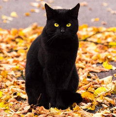 black cat with colorful leaves contest winner