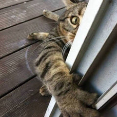 desperate cat grabbing door contest winner