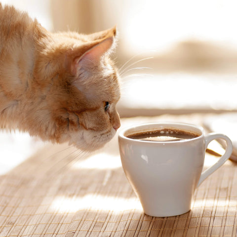 cat sniffing on coffee cup kittysensations