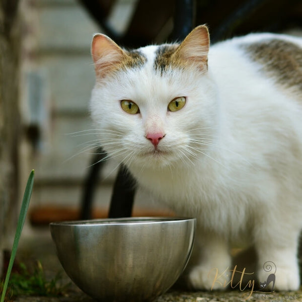 white cat standing at silver food bowl