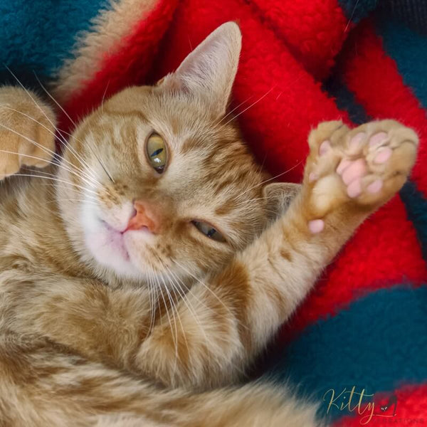 ginger cat showing thumb on paw