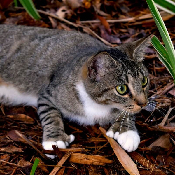 adorable poldactyl cat outdoors