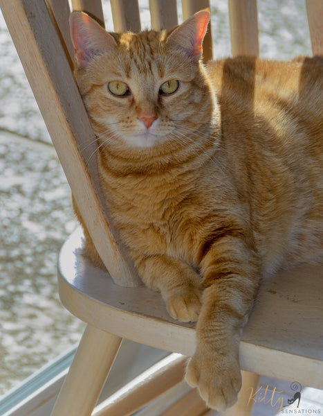 ginger cat with extra toes sitting on chair