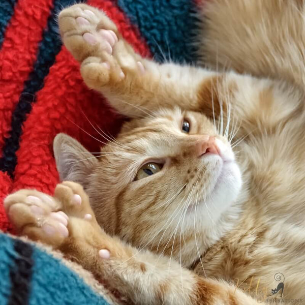 ginger cat showing her thumbs