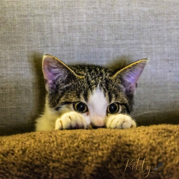 kitty hiding behind blanket