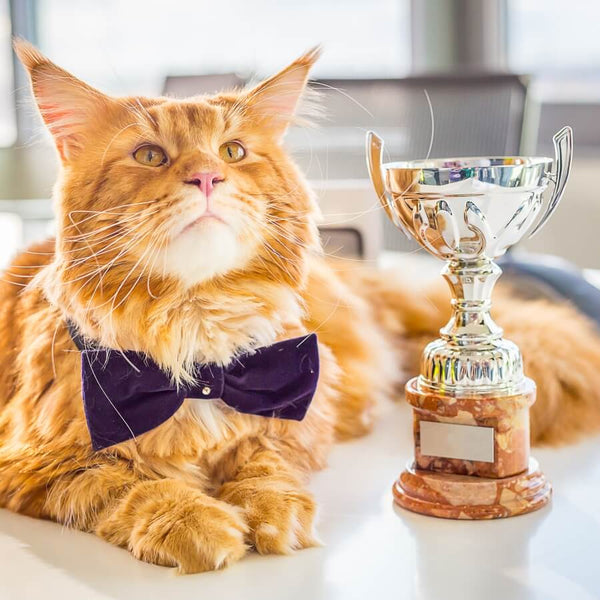 red coon cat with trophy