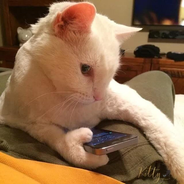 white polydactyl cat checking smartphone