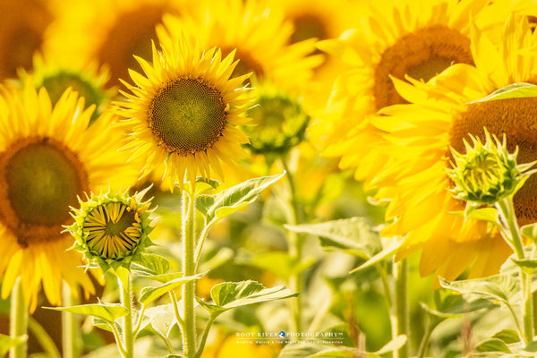 A Field of Sunshine