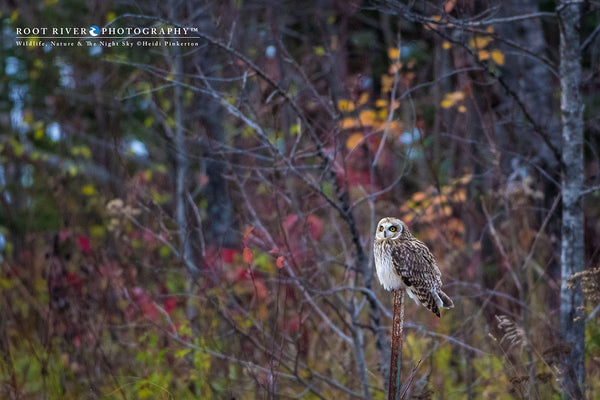Short-eared Owl Among the Fall Foliage