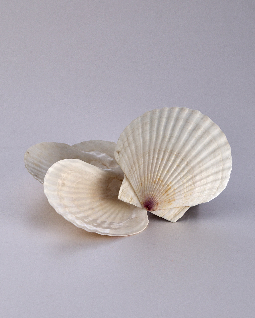 Set of Four Sea Shells