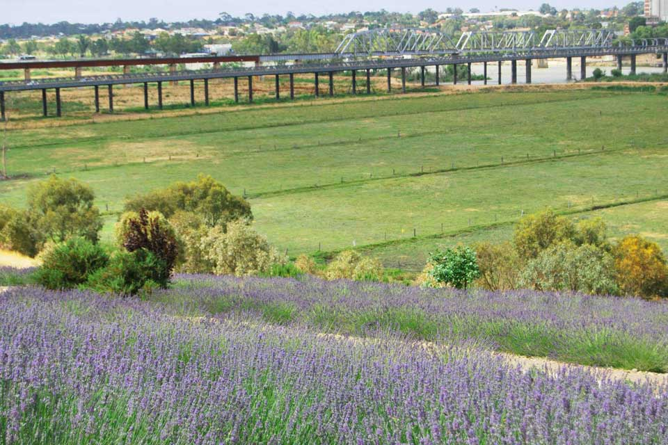 Lavender Field overlooking bridge