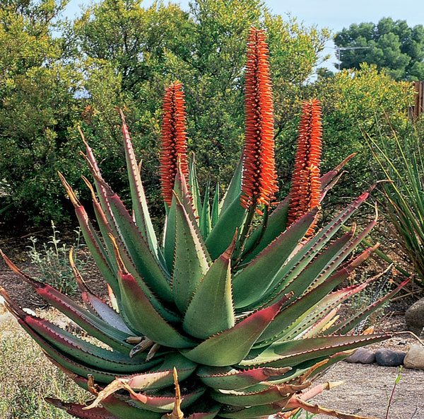 What is Aloe Ferox?