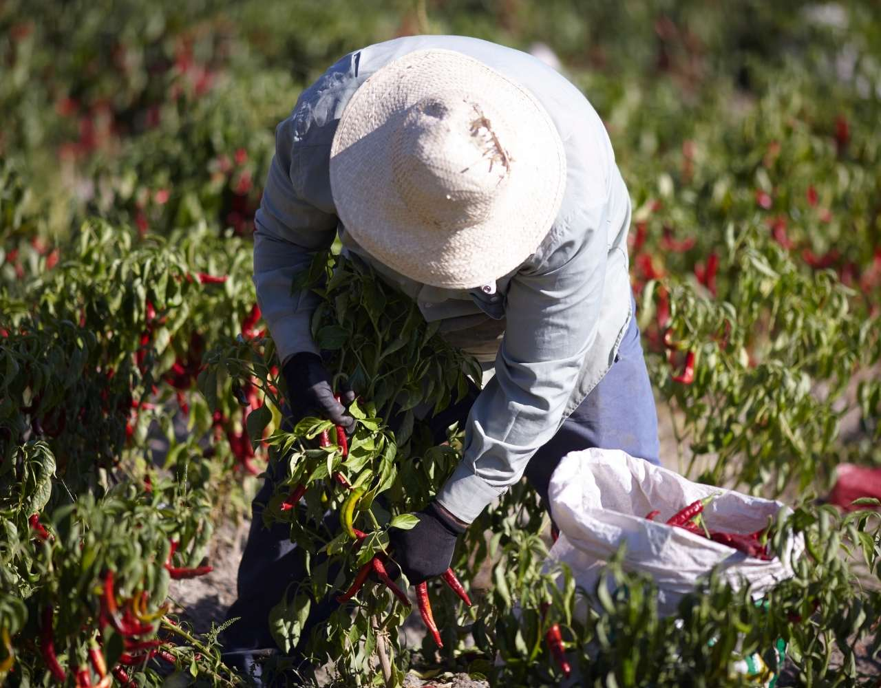 Harvesting peppers in La Vera Caceres