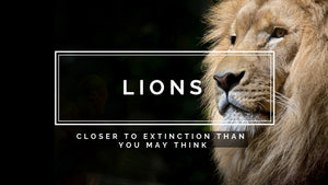 Lions - Closer to extinction than you may think