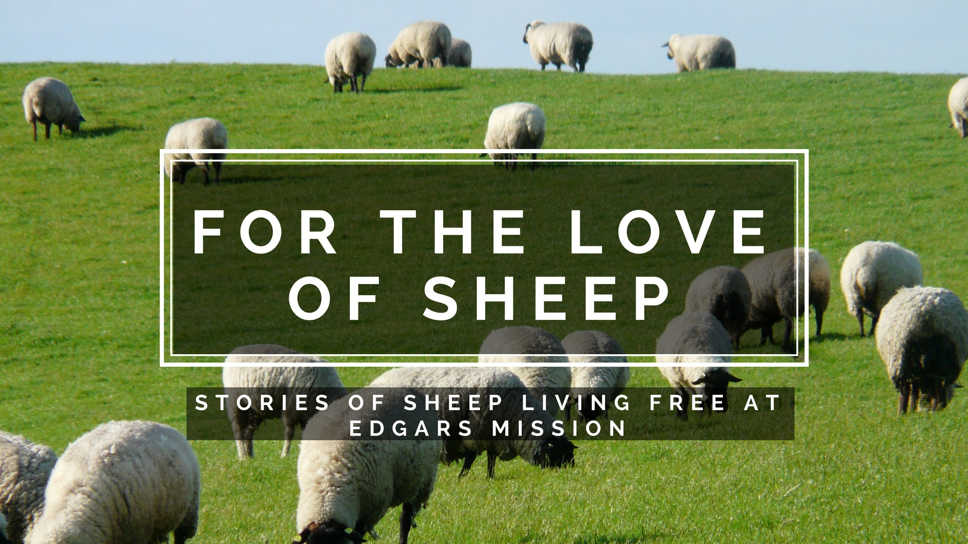For the Love of Sheep - stories of sheep living free at Edgar's Mission