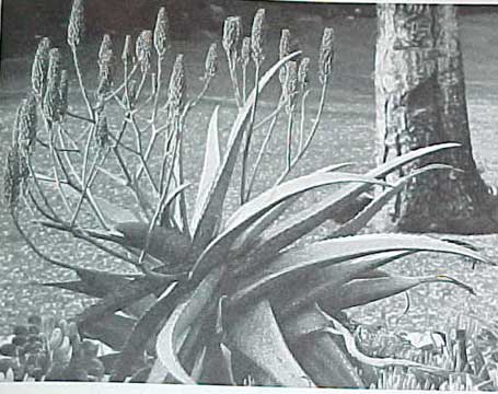 SUCCULENTS AND CACTUS, A SUNSET BOOK (1970)
