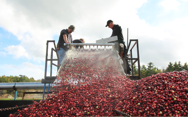 Cranberry Harvest Season