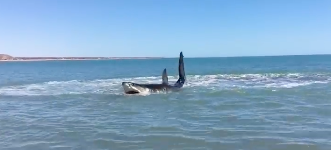 15 ft Great White Shark Beached in Mexico