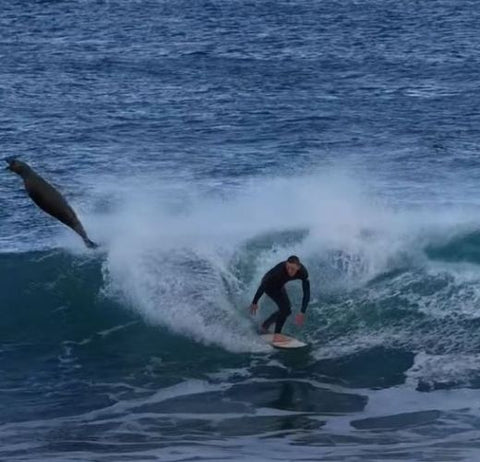 Surfer hits seal while sharing a wave