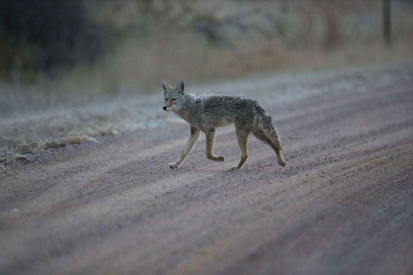 colorado coyote rollers keep coyotes out