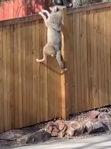 coyote jumping fence