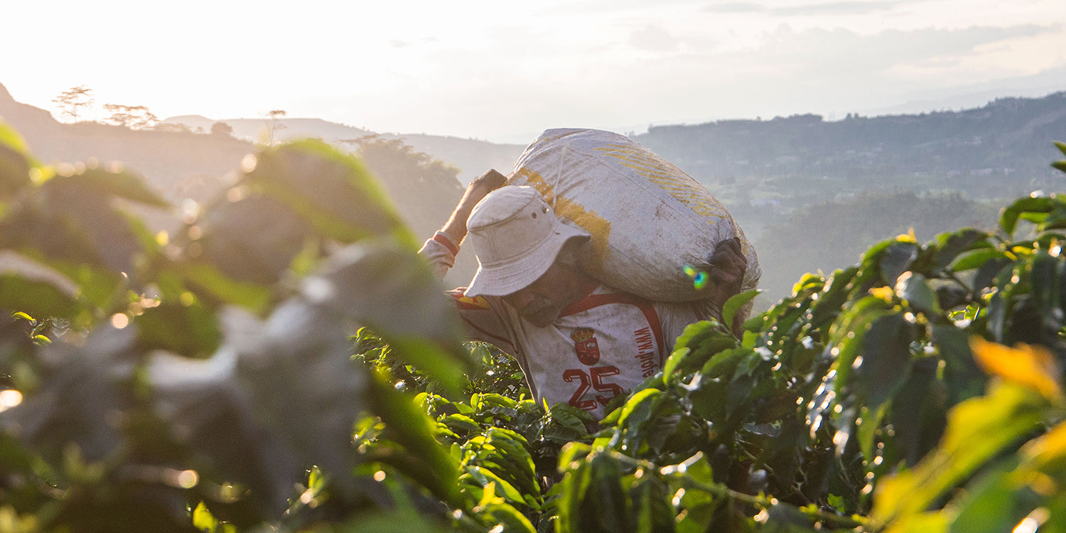 A coffee farmer in Colombia hauling a bag.