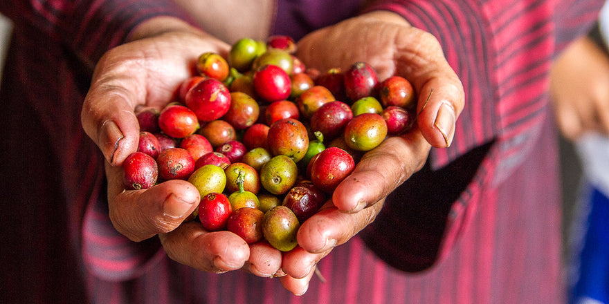 Hands holding colorful coffee cherries