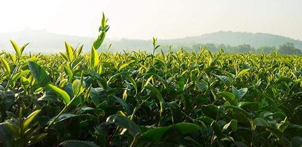 positively-tea-field