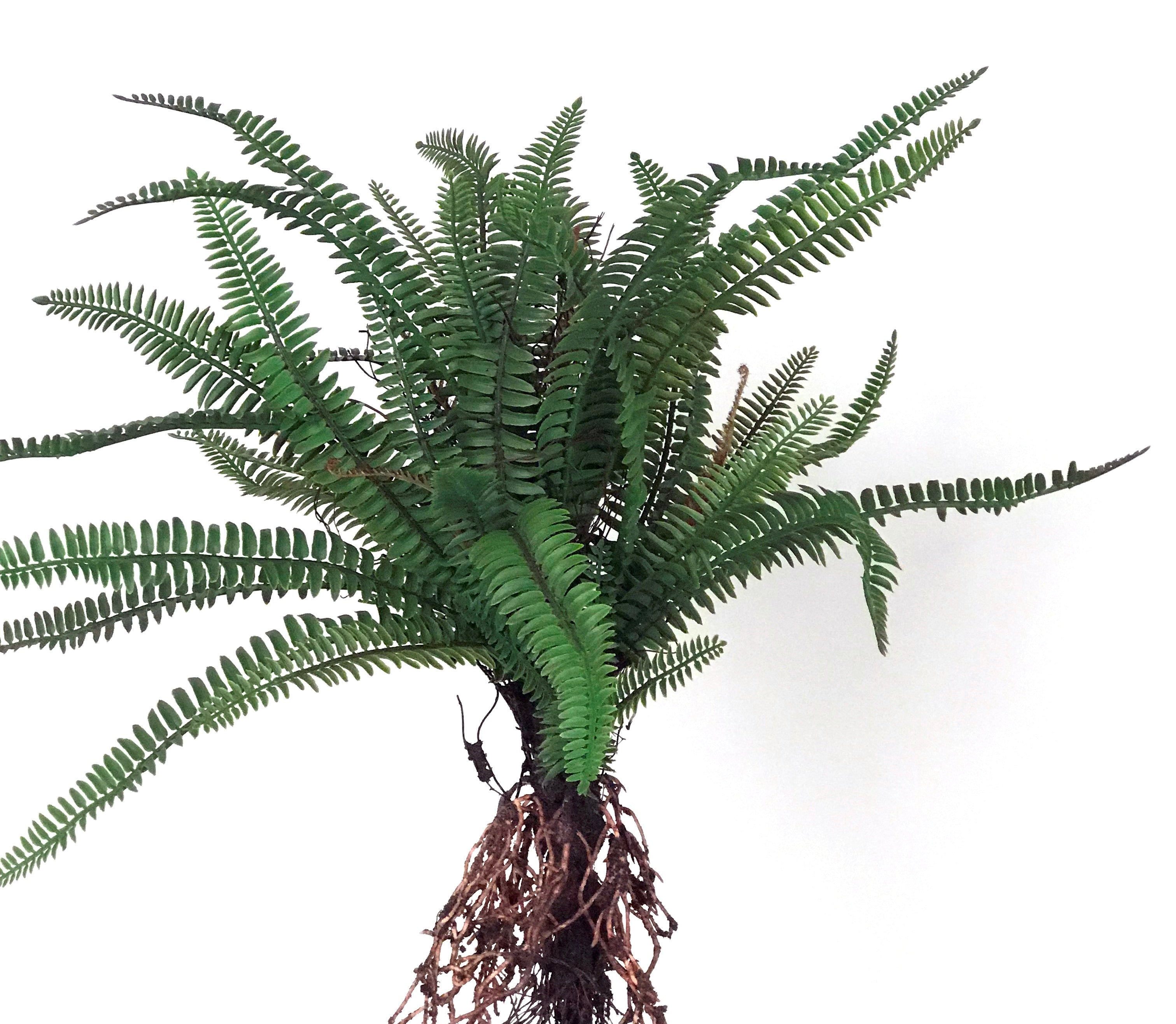 "K366 21"" LARGE FERN BUSH WITH ROOTS"