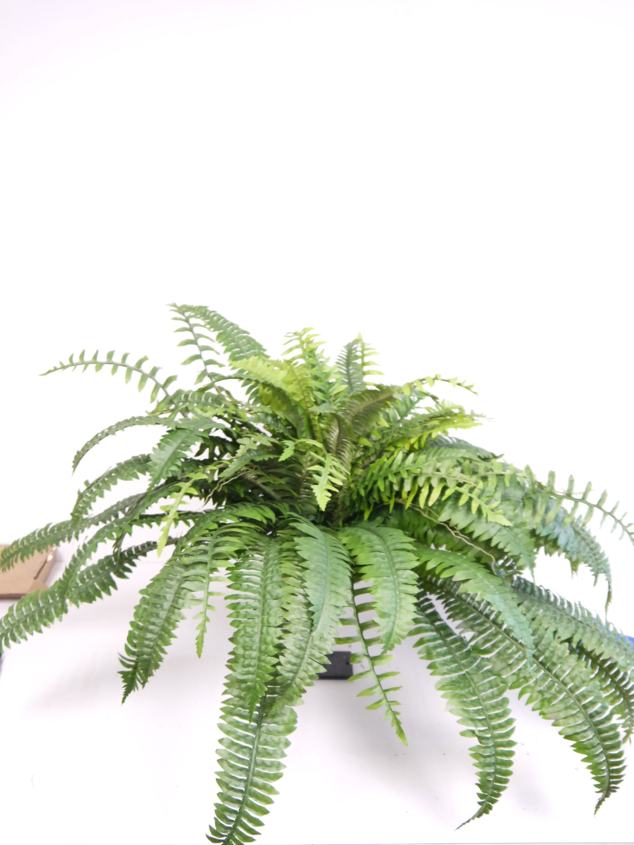 SS190482 BOSTON FERN BUSH X90