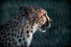 Zoo Photography, Nia the Cheetah