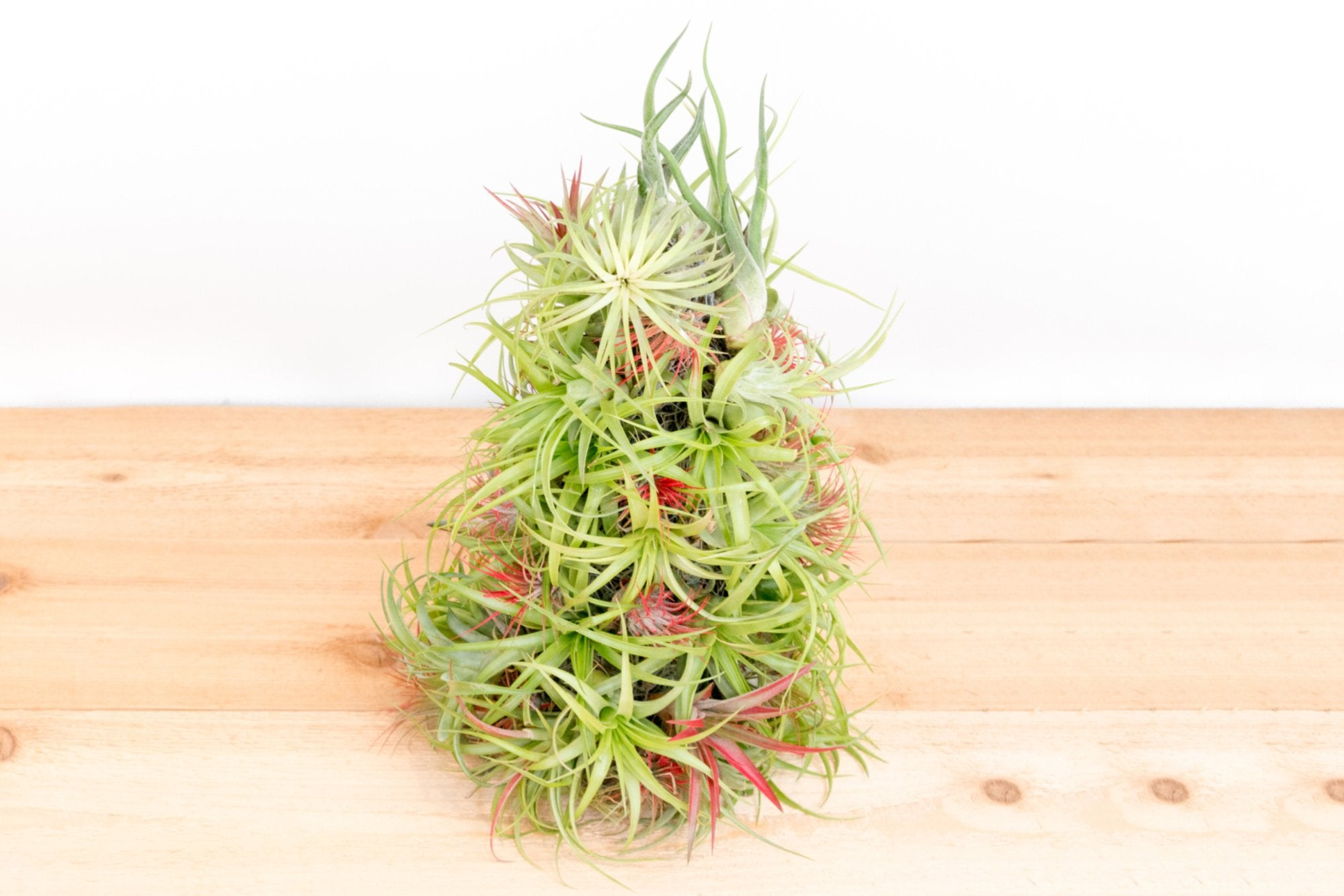 Caring For Your Air Plant Christmas Tree