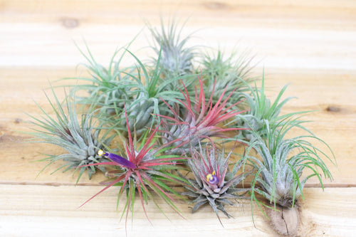 Air Plant Sale Up To 70 Off Buy Air Plants Shop For