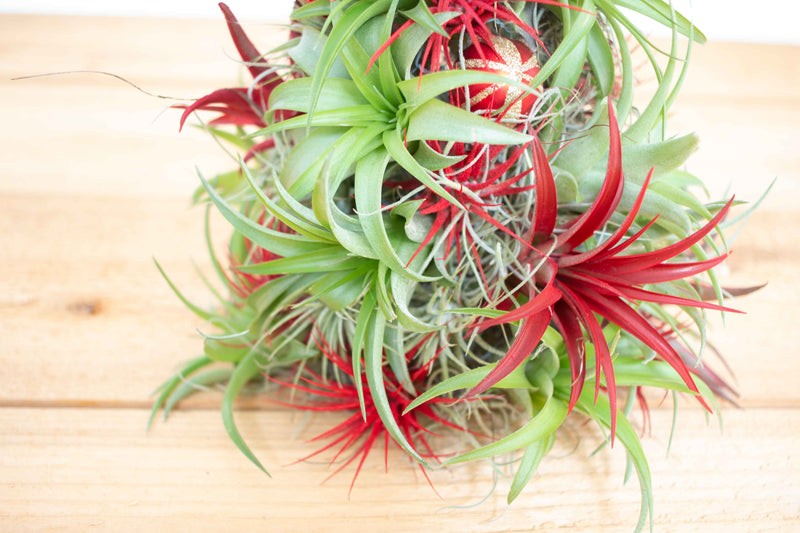 BULK DISCOUNT PRE-ORDER: 14 Inch Tall Handmade Air Plant Christmas Tree with 50 Living Tillandsias [Min Order 3]
