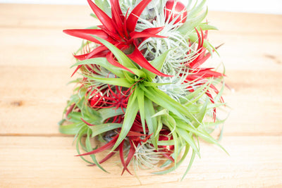 BULK DISCOUNT PRE-ORDER: 10 Inch Tall Handmade Air Plant Christmas Tree with 35 Living Tillandsias [Min Order 4] from AirPlantShop.com