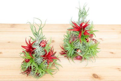 BULK DISCOUNT PRE-ORDER: 12 Inch Tall Handmade Air Plant Christmas Tree with 50 Living Tillandsias [Min Order 3]