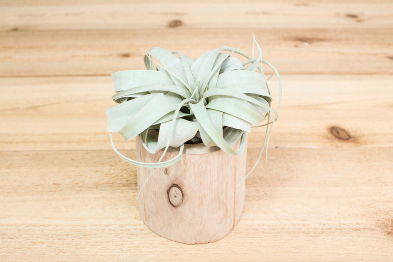 Small Driftwood Container with Custom Tillandsia Air Plant