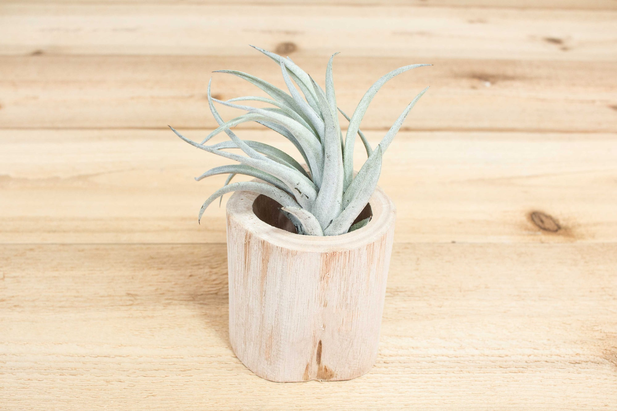 Small Driftwood Container with Assorted Tillandsia Air Plant