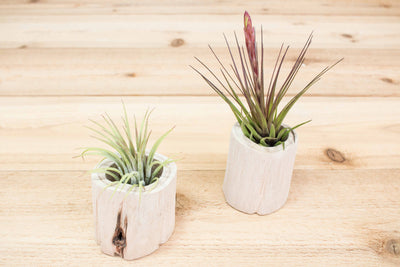 Trio of Small Driftwood Containers with Assorted Air Plants